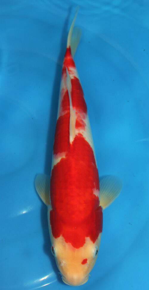 Kohaku 41cm